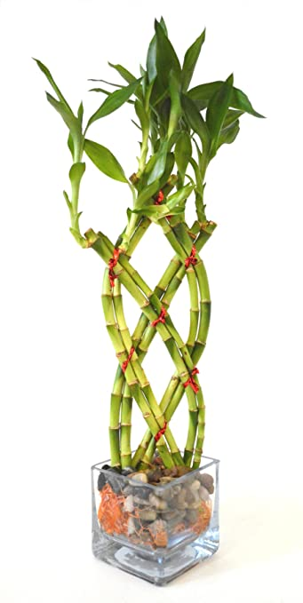 Amazon.com : 9GreenBox - Live 8 Braided Lucky Bamboo Plant ...