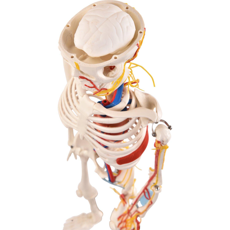 Berühmt Was Anatomie Mittel Galerie - Menschliche Anatomie Bilder ...