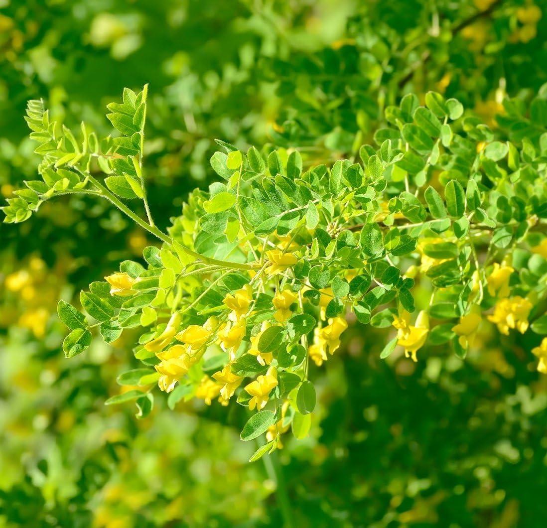 seeds 50 x Siberian Pea Tree caragana arborescens
