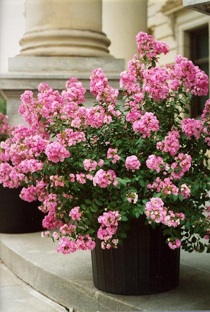 BICOLOR PICTOTEE CRAPE MYRTLE, Patented Miniature, 1 Plant, Matures 5ft, Beatiful Pink Flower with White Edge (1'-2' Tall When Shipped, Well Rooted In Pot with Soil)