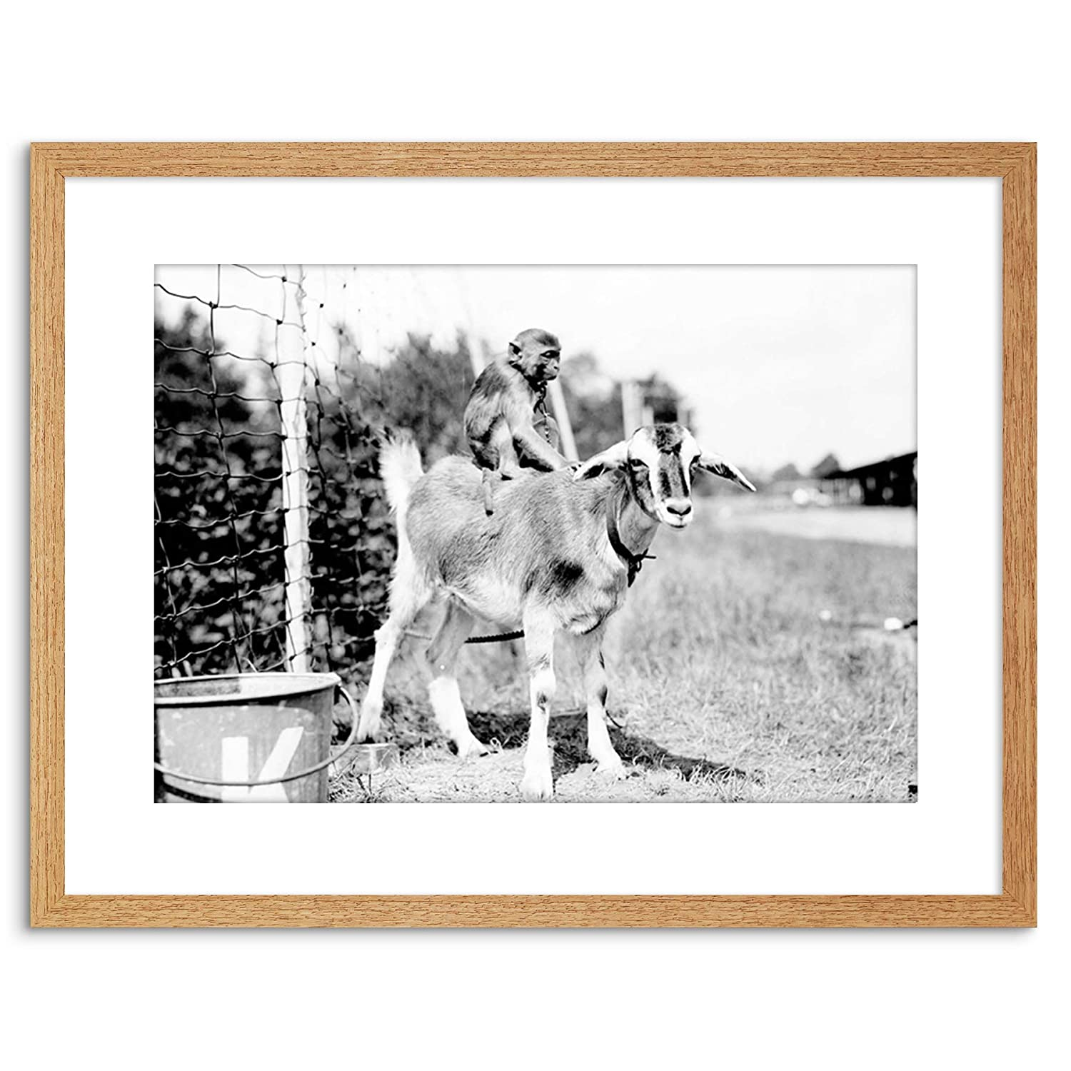 Wee Blue Coo Vintage Photo Chained Moneky Riding Goat New ...