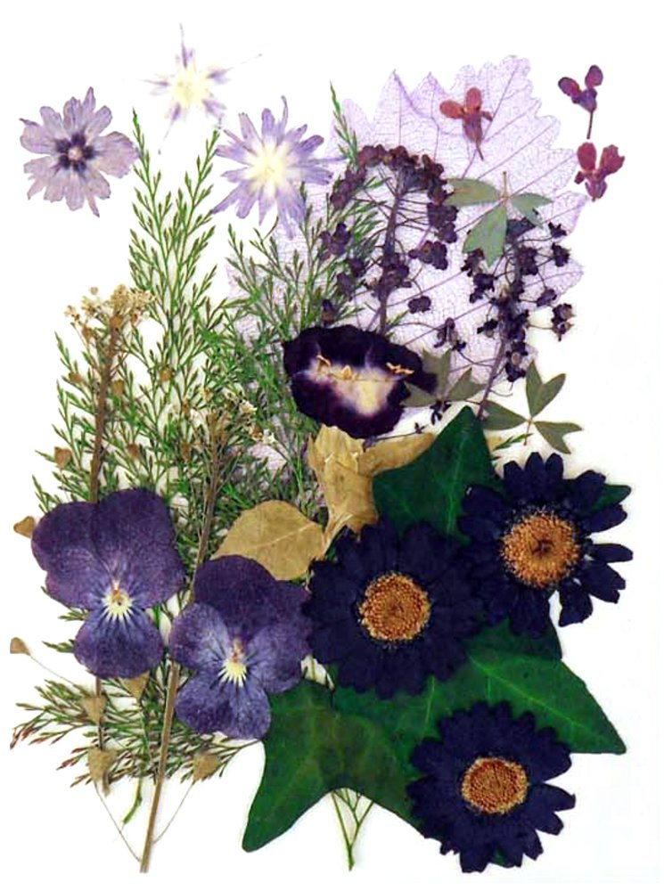 Beautiful Pressed Flowers Mixed, Pansy, Star Flower, torenia, Marguerite, Alyssum, Lobelia, Foliage for Floral Art, Craft, Scrapbooking Silver J