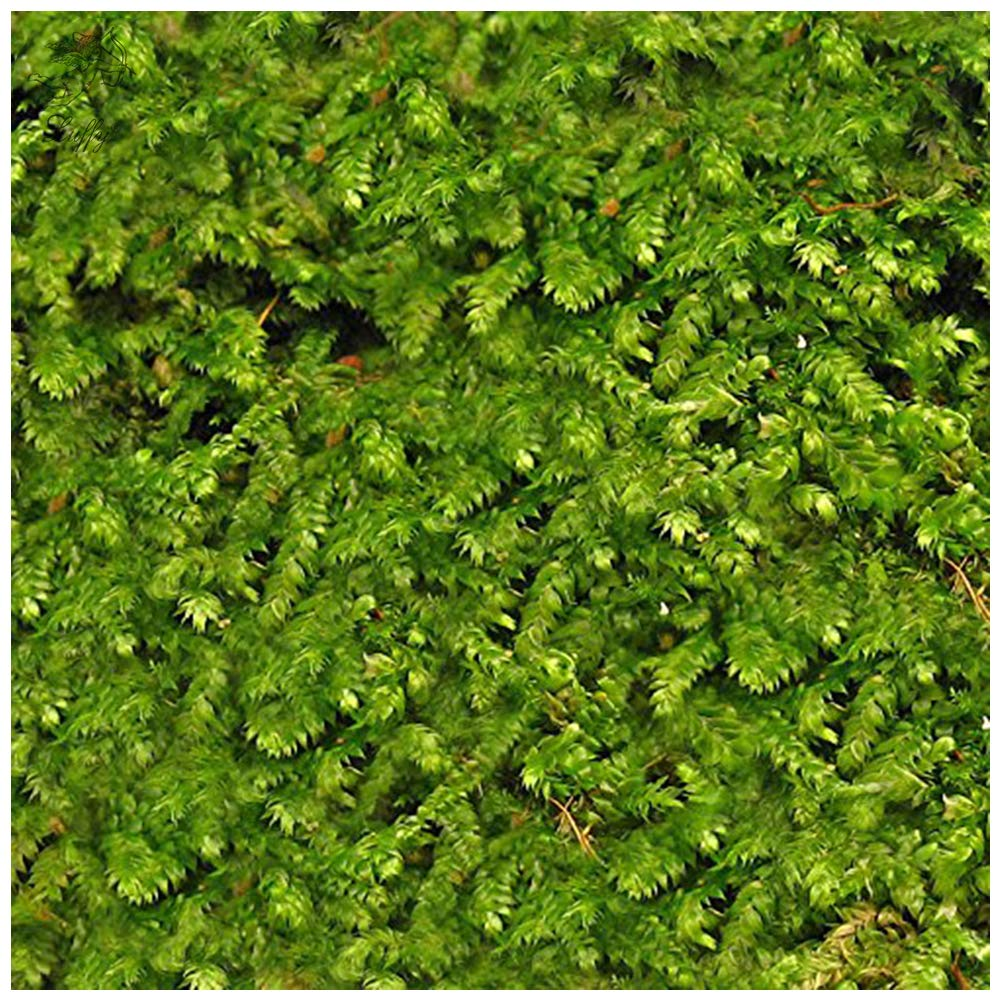 Luffy Wild Christmas Moss in Loose Form Lush, Green Moss for Aquarium Decor - Create a Moss Wall or Moss Carpet - Soft and Comforting for Fish - Shrimp's & Fry's Food by Luffy