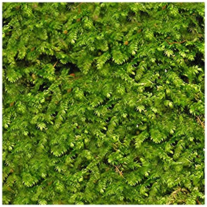 Christmas Moss Carpet.Luffy Wild Christmas Moss In Loose Form Lush Green Moss For Aquarium Decor Create A Moss Wall Or Moss Carpet Soft And Comforting For Fish