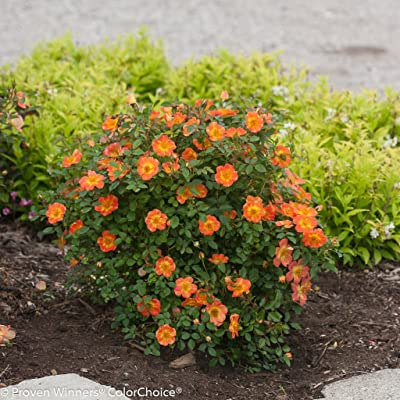 OSO Easy Paprika Rose- Very Hardy/Disease Resistant- Proven Winners - Bare Root : Garden & Outdoor