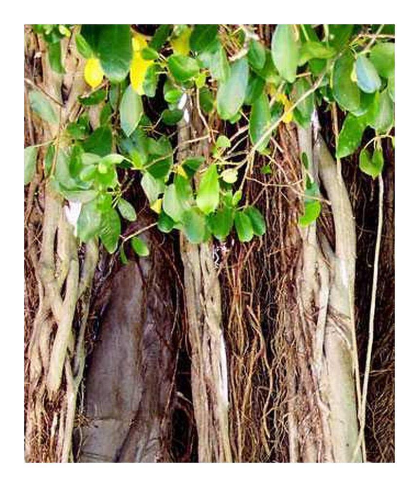 bonsa/ï Ficus benghalensis Figuier des Banyans 100 graines