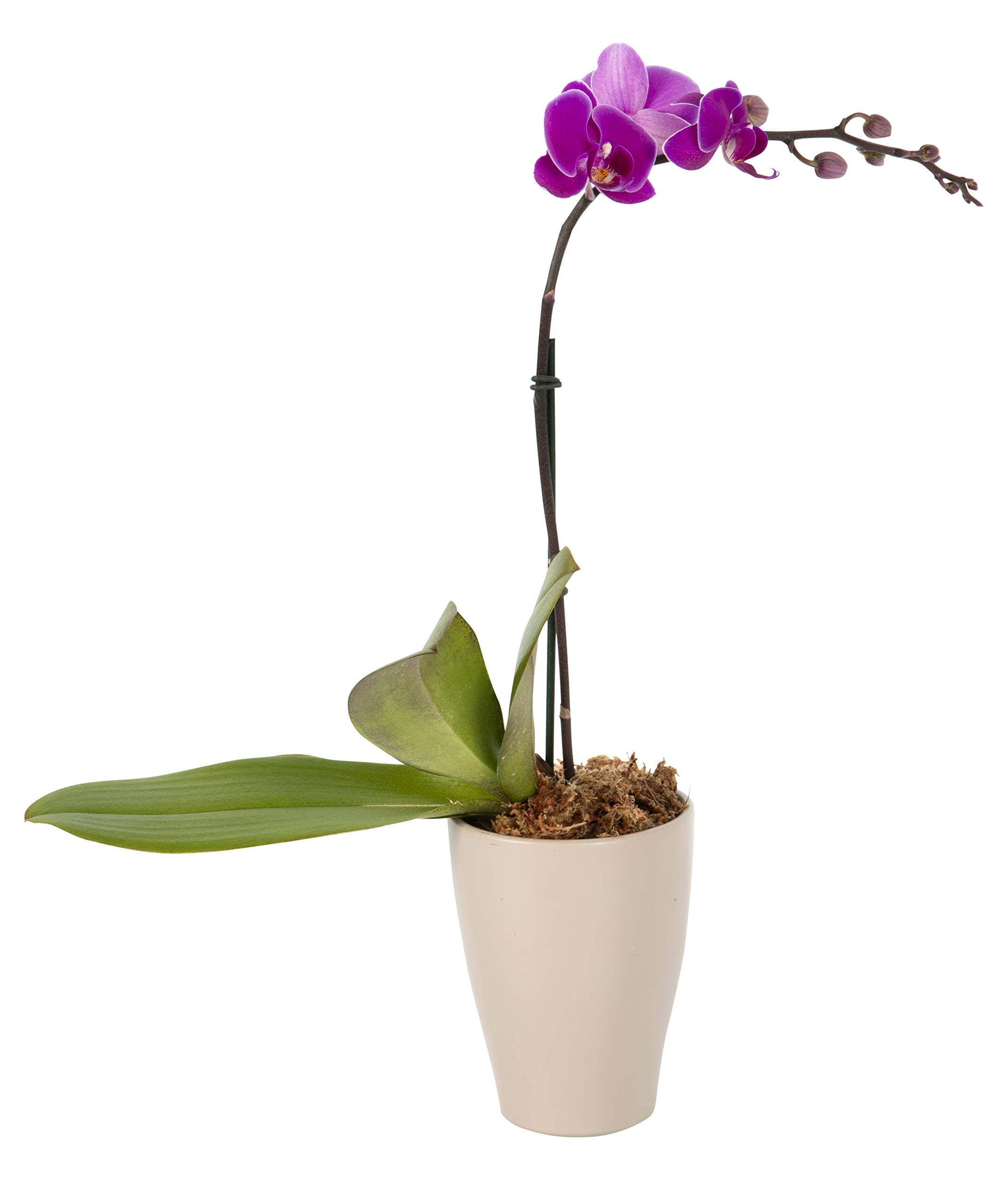 Color Orchids Live Blooming Single Stem Phalaenopsis Orchid Plant in Ceramic Pot, 15''-20'' Tall, Purple Blooms