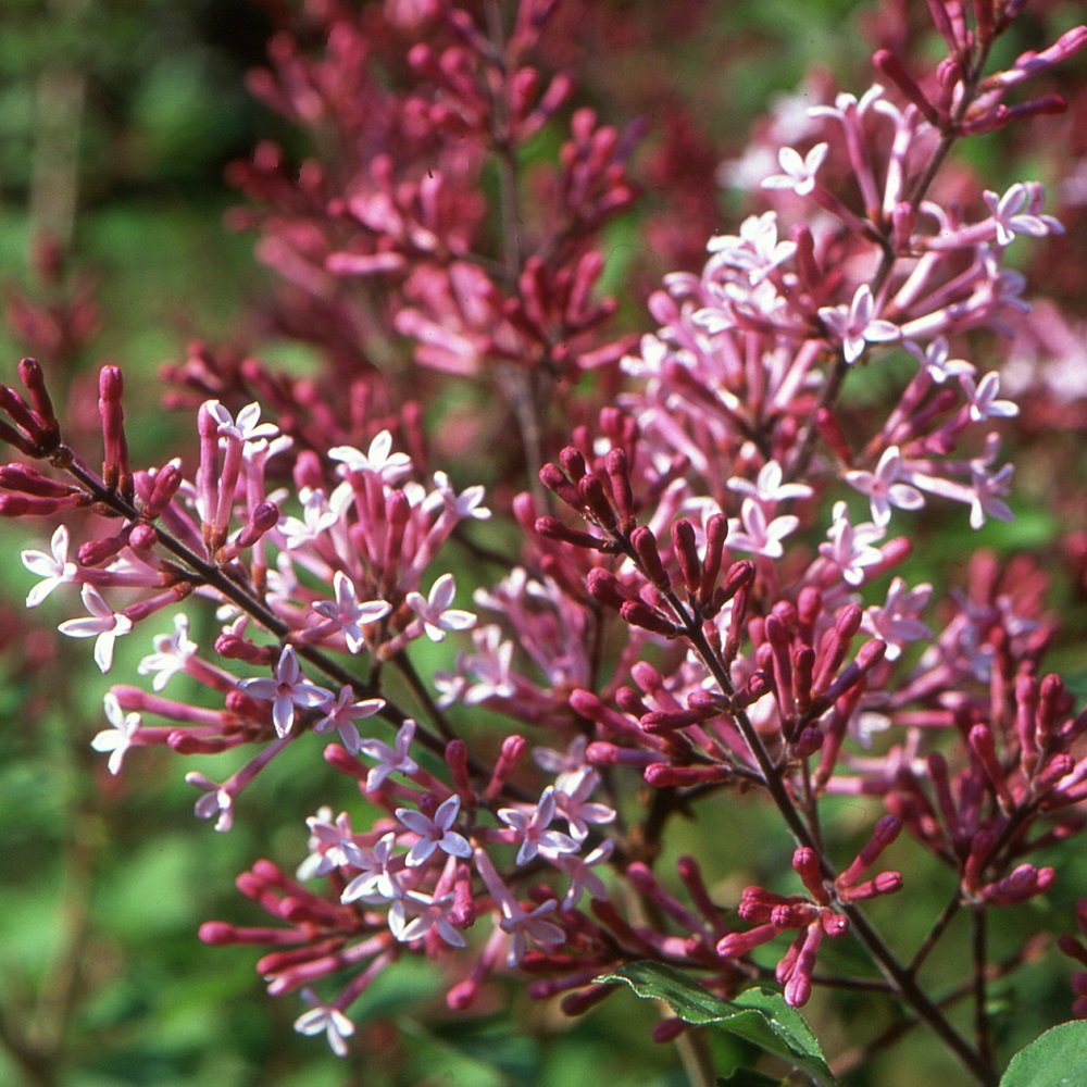 "Red Pixie' Lilac - 4"" Pot - Syringa"