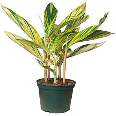 Variegated Shell Ginger House Plant - Similar Leaf Color as Philodendron Brasil (Philodendron hederaceum VAR. oxycardium) and Philodendron Burle Marx, Philodendron burle-marxii Green : Garden & Outdoor