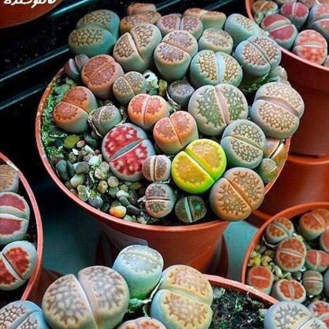 MURIEO jardín- 100 Unids Semillas Mixtas Suculentas Rare Living Stones Cactus Planta DIY Home Garden, Anti-Radiación Semillas Carnosas