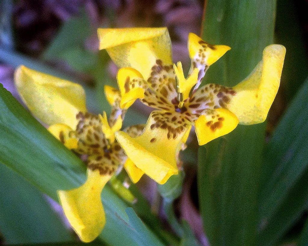 Amazon blue walking iris giant apostles iris neomarica yellow walking iris live plant water garden bog border trimezia steyermarkii starter size 4 inch pot izmirmasajfo