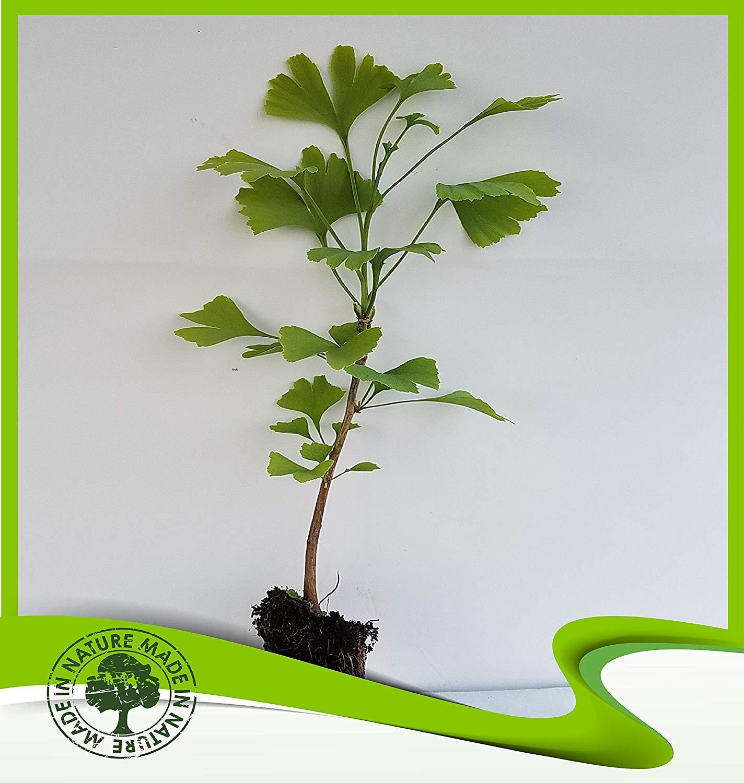 Ginkgo biloba (Ginkgo tree) - Plant