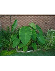 Elephant Ear Plant - Alocasia - Over Winter Indoors for Larger Plant - 2 Bulbs