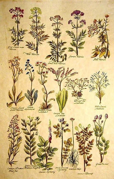Stampata e dipinta a mano 1600 Tavola 5-42x30 Stampa su carta antica Botanica Fiori
