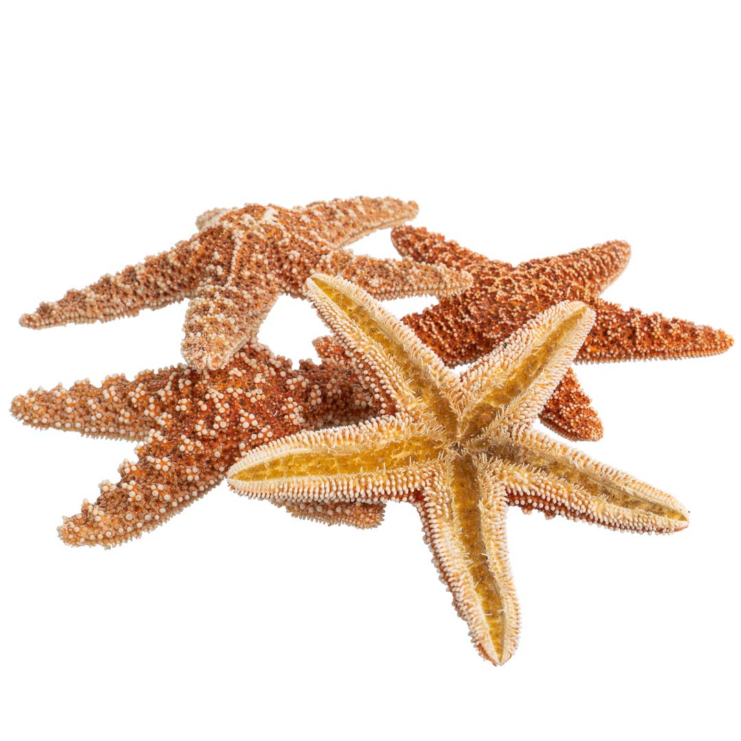 Sugar Starfish | 5 Brown Sugar Starfish 4'' to 5'' | Plus Free Nautical Ebook by Joseph Rains