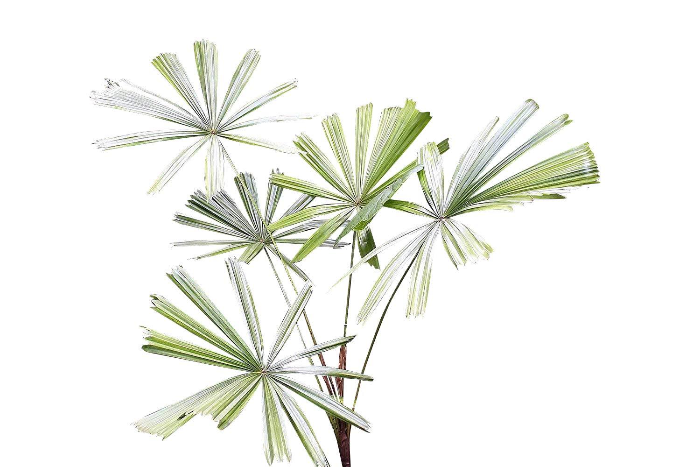 Strahlenpalme Mangroven Licuala spinosa 10 Samen