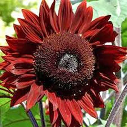 Spectacular & Unique RED Sunflower Seeds, Beautiful Bright Luxury Blooms