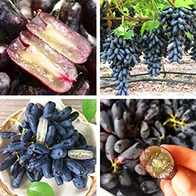 wpOP59NE 30Pcs Rare Black Grape Seeds Bonsai Plants Courtyard Fruit Garden Potted Decor Plant Seeds : Garden & Outdoor
