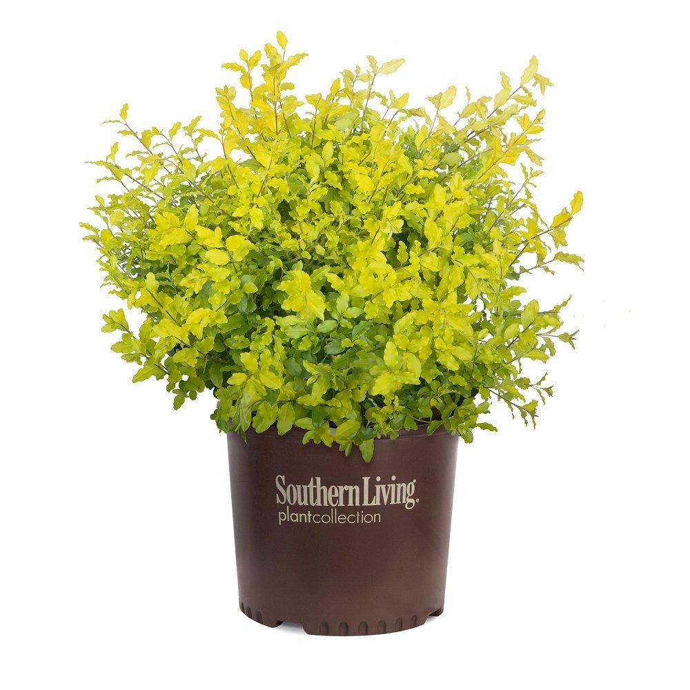 Southern Living Plant Collection 3953Q 2.5 Qt - 'Sunshine' Ligustrum Live Shrub, Quart