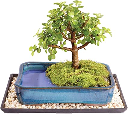 Amazon Com Brussel S Live Dwarf Jade Indoor Bonsai Tree In Water Pot 5 Years Old 6 To 10 Tall With Humidity Tray Deco Rock Garden Outdoor