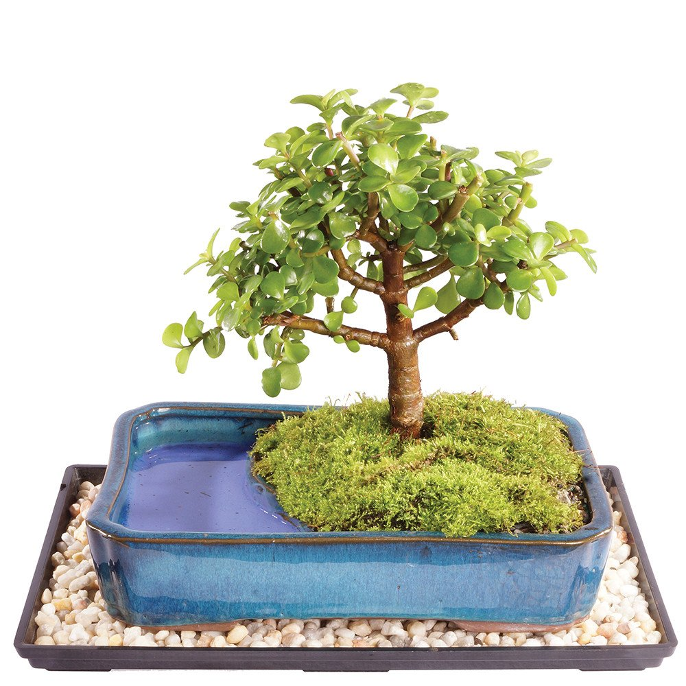 Brussel's Dwarf Jade Bonsai in Water Pot - Medium (Indoor) with Humidity Tray & Deco Rock