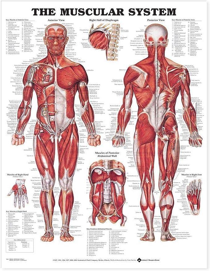 Amazon.com: The Muscular System Anatomical Chart Laminated : Home & KitchenAmazon.com