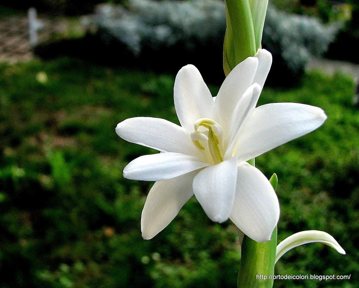 Polianthes Tuberosatuberose White Flower Bulbs 16 Bulbs In Each