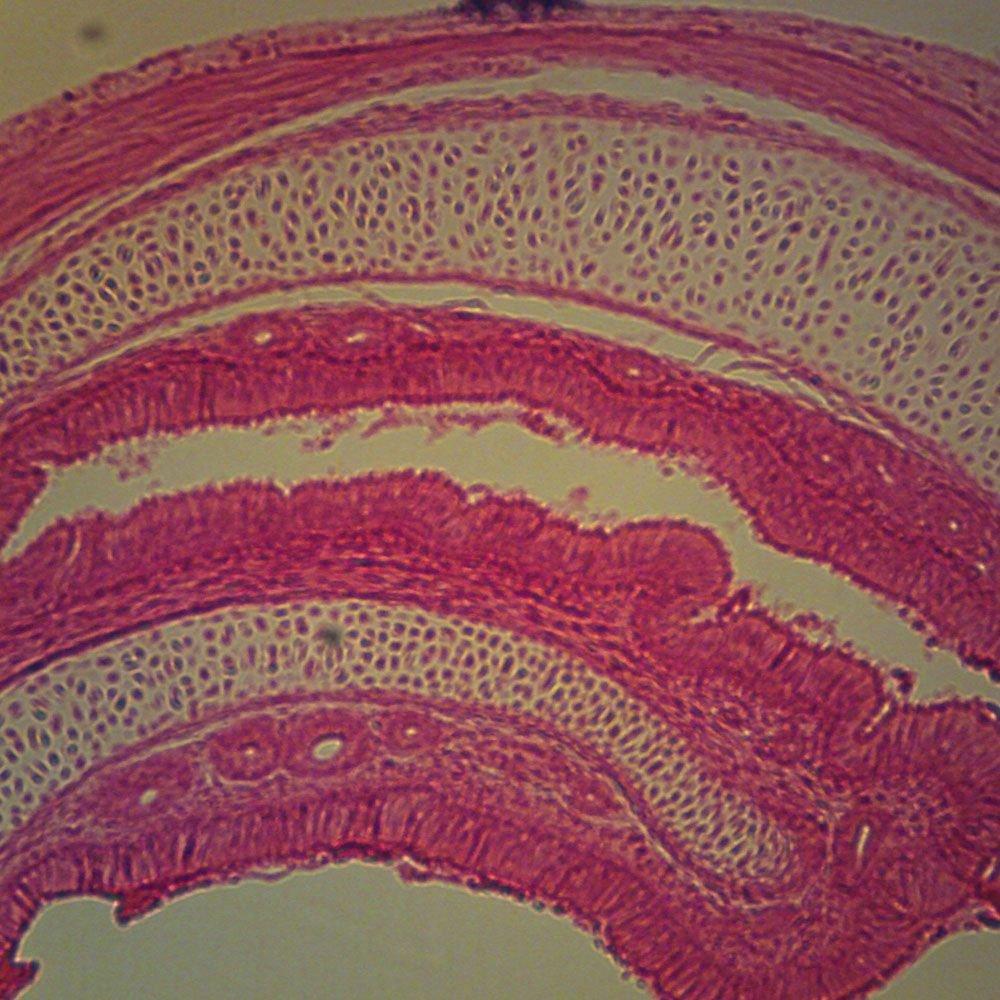 Mammal Hyaline Cartilage Slide 7 M H E Microscope Sample Slides