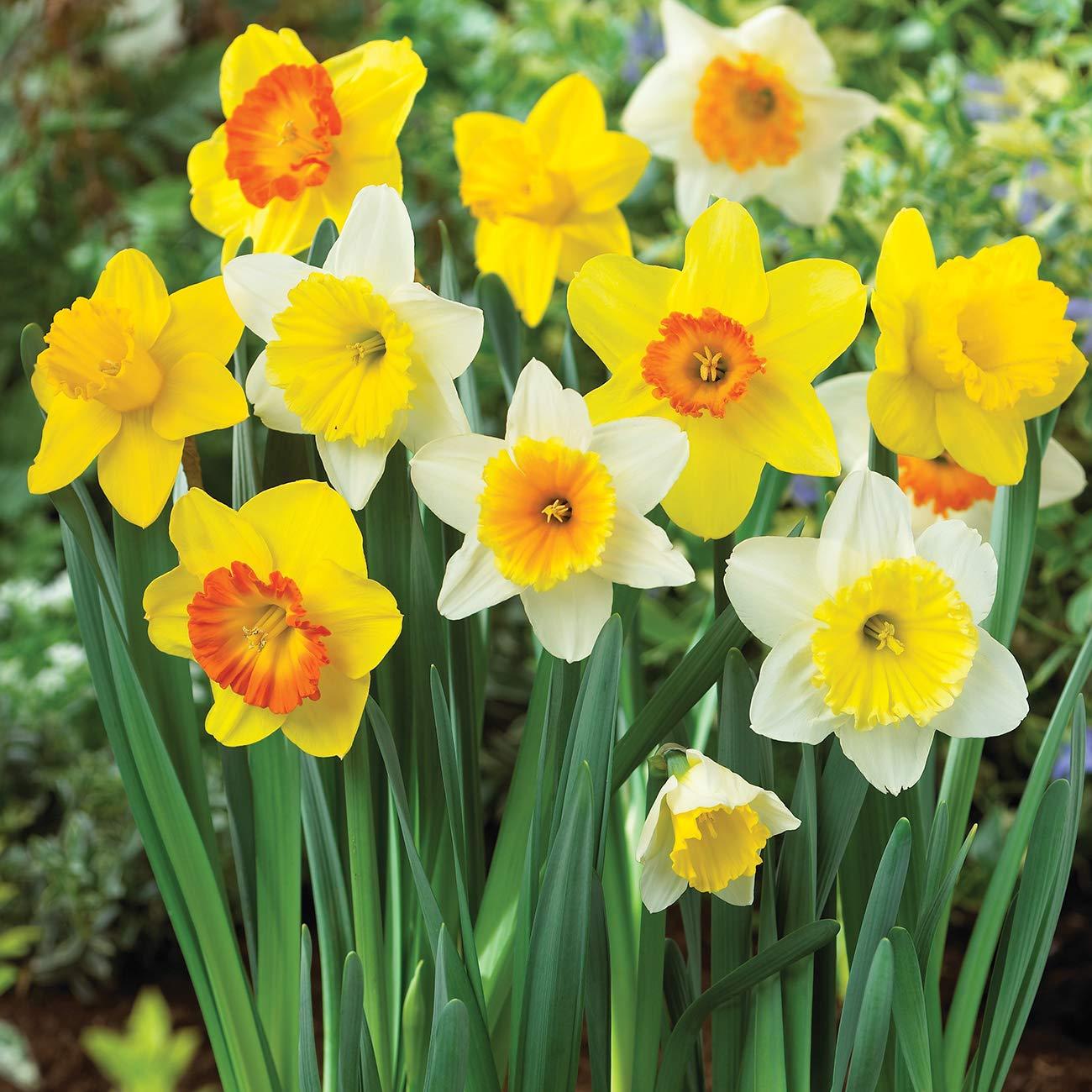 Van Zyverden 87047 Daffodils Trumpet and Cupped Mixture Set of 15 Bulbs, 12/14 cm, Mixed by VAN ZYVERDEN