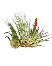 Exotenherz.de - Set di piante Tillandsia, formato XXL, confezione da 3