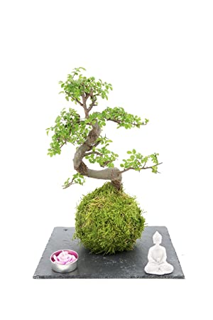Home Zen Garden (Live) Kit de Bonsai plant envuelto en una manta de moss