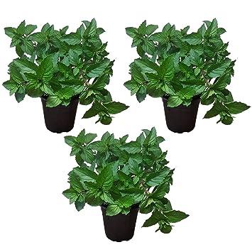 3 Pflanzen Pfefferminze Peppermint Erfrischend Pfeffrige Minze In