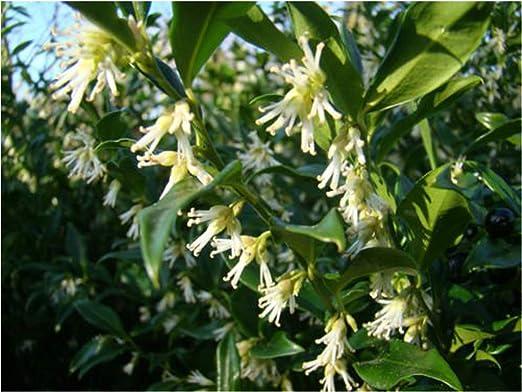 Planta aromática de invierno para jardín, floración Sarcococca, confusa: Amazon.es: Jardín