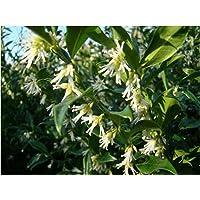 Planta aromática de invierno para jardín, floración Sarcococca