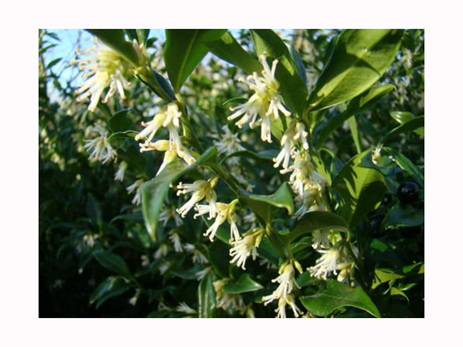 OUTDOOR GARDEN PLANT scented WINTER FLOWERING Sarcococca confusa CHRISTMAS BOX shrub