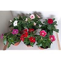 Vinca -Vincapervinca de Madagascar - Pack 6 Plantas -Vinca del Cabo- Vinca Rosa -Planta Ornamental- Planta Natural…
