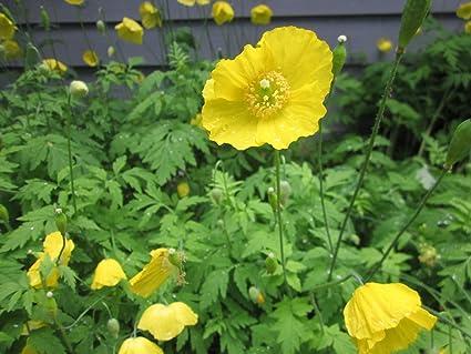 Amazon 100 yellow meconopsis cambrica welsh poppy seeds ref4 100 yellow meconopsis cambrica welsh poppy seeds ref4 mightylinksfo