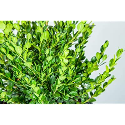 1 Gallon Live Plant Wintergreen Boxwood Shrubs Outdoor Gardening tksery : Garden & Outdoor
