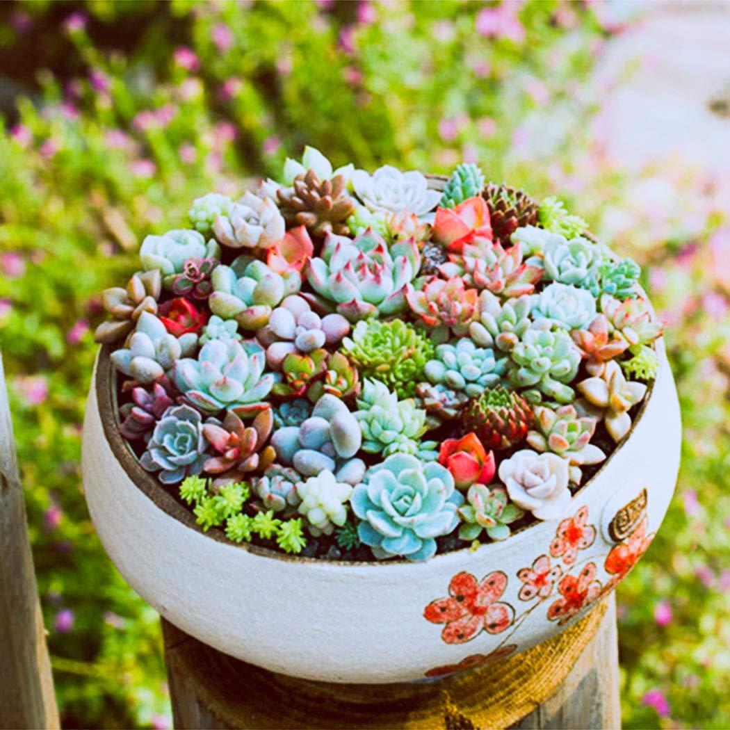 Tomasa Samenhaus 100 St/ücke Mixed Sukkulenten Samen Seltene Lebende Steine Pflanzen Kaktus DIY Hausgarten,Anti-Radiation fleischigen Samen