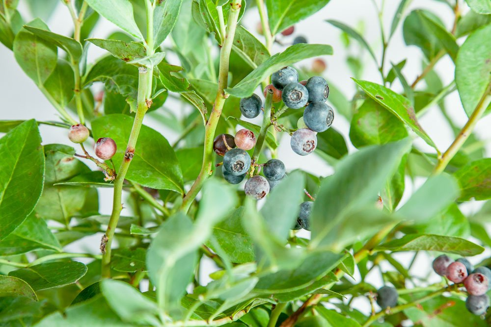 Perfect Plants Powder Blue Blueberry Live Plant, 1 Gallon, Includes Care Guide by PERFECT PLANTS (Image #6)
