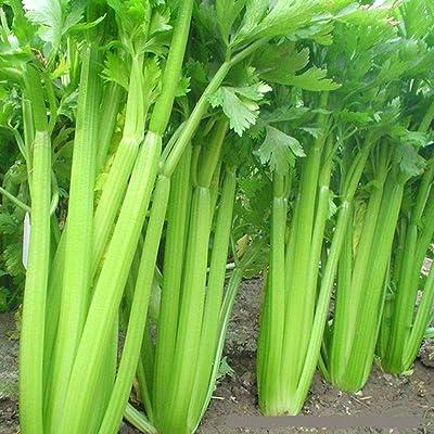 1500 Celery Seeds Organic Non-GMO Farm Patio Heirloom Easy to Grow Green Perennial Fresh Organic Food Vegetable for Home Garden : Garden & Outdoor