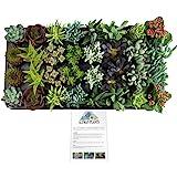 "Altman Plants Assorted Succulent Tray 32 Pack, 2.5"""