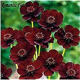 Mr.seeds-Rare Chocolate Cosmos Flower Seeds , 30pcs / Bag , Beautiful New Varieties Of Coreopsis