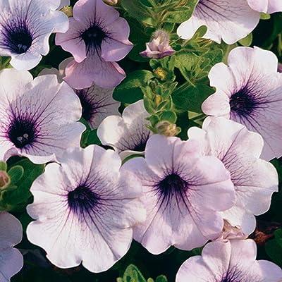 Supertunia (Petunia Hybrid) Premium Annual Plants (4-Pack), Trailing Blue Veined Color, 4.33″ Pot : Garden & Outdoor