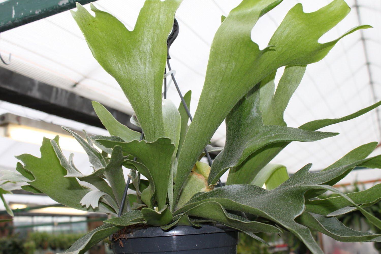 Garden Market Place StaghornFern Zimmerpflanze Platycerium Bifurcatum Staghorn Farn in einem 18 cm h/ängenden Topf und ca gr/ün 50 cm breit