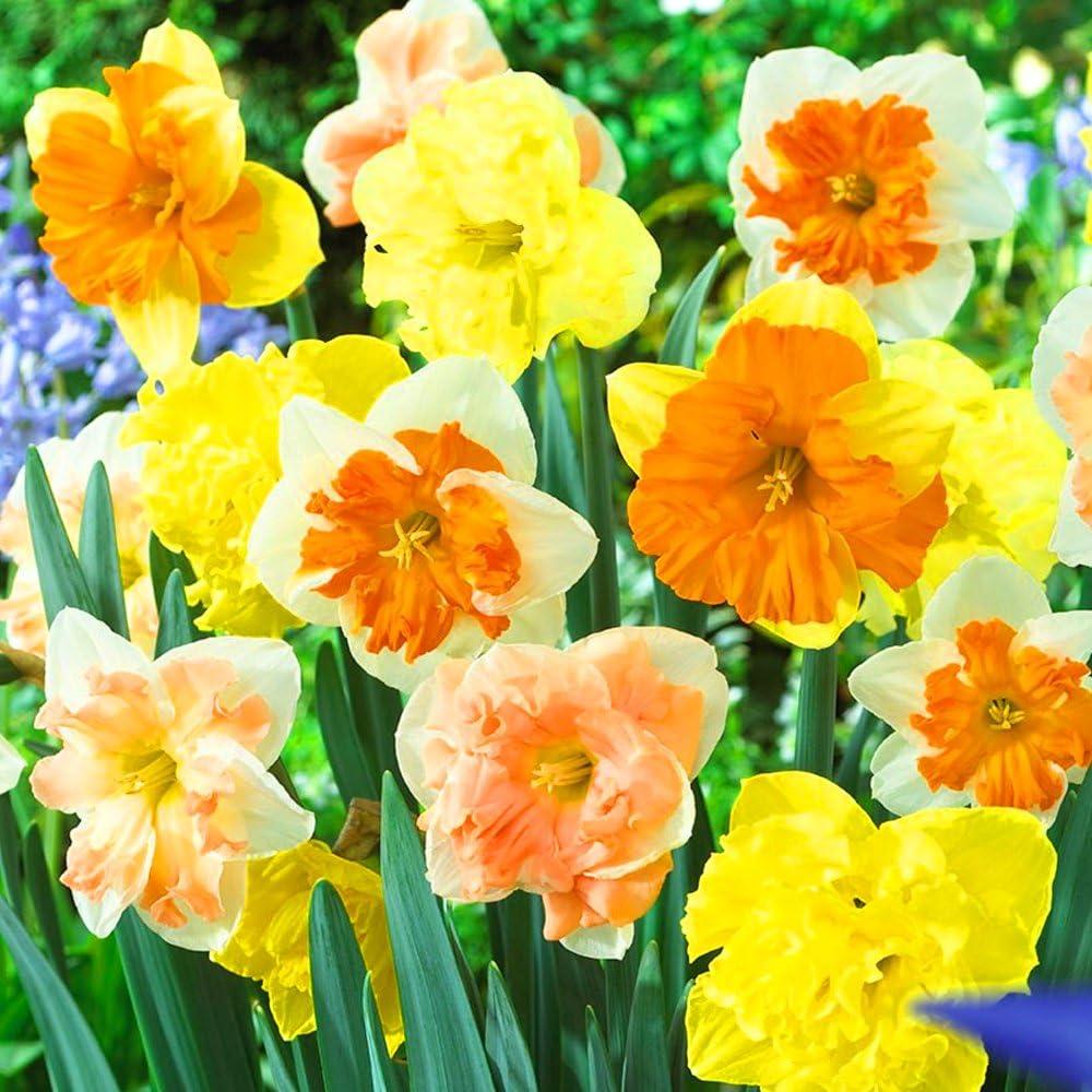 Narcissus Rockery Mixed Indoor Outdoor Spring Flowering Miniature Bulbs Plants 5