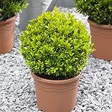 Pair of Buxus Balls Topiary 25cm diamater