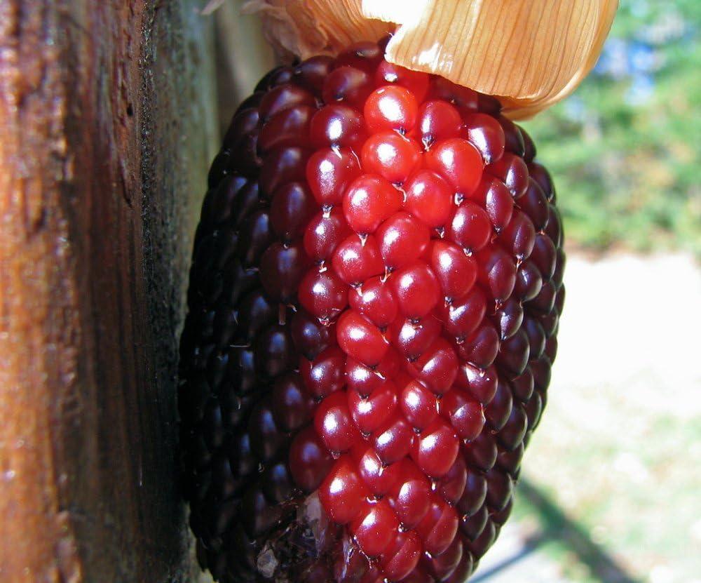 10 Paquete original, 10 semillas / pack, semillas de maíz rojo de la fresa de palomitas de maíz, Evcellent para hacer estallar de las palomitas, Diversión para Niños