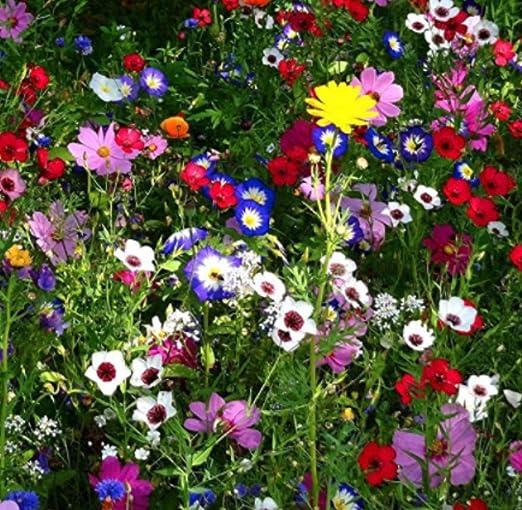 MURIEO jardín- Mezcla de flores perennes Mixtas de mariposas y abejas de flores silvestres - Flower Meadow, Rare Wildflower Seeds Hardy Flores silvestres y mezcla de hierbas: Amazon.es: Jardín