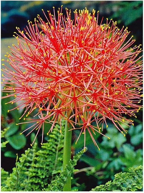 """Guarderías GARTHWAITE®: – 3 """"scadoxus Multiflorus"""" bola de fuego Lily flores estrellada rojo brillante tarde verano floración bombillas: Amazon.es: Jardín"""